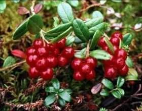 Брусниця - лікування листям і ягодами фото