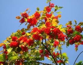 Калина червона корисні властивості - застосування, рецепти фото
