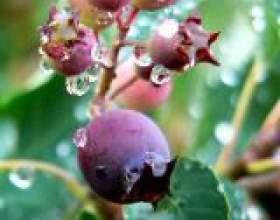 Лікувальні властивості ірги ягоди фото