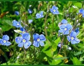 Лікарська рослина вероніка фото