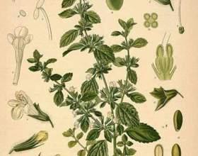 Лікарські властивості трави меліса фото