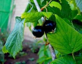 Листя чорної смородини - корисні властивості фото