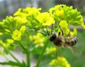 Чоловіча трава сурепка - лікувальні властивості фото