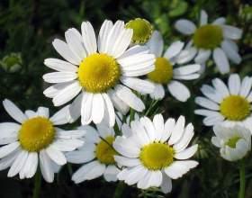 Настій квітів ромашки фото