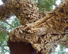 Відвар дубової кори фото
