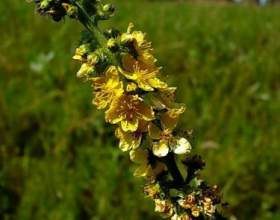 Репешок звичайний - гарне рослинне жовчогінний засіб в допомогу нашій печінки фото