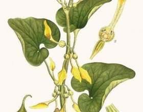 Трава кірказон ломоносовідний - застосування і рецепти фото