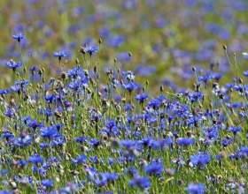 Волошка синя - найкраща рослинна сечогінна трава фото